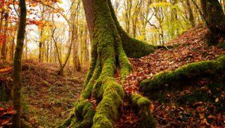 Les espèces du genre Quercus