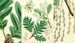 Pubescent oak