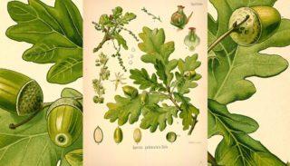 Pedonculate oak