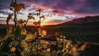 Juin au vignoble