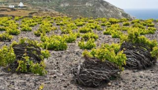 Les « gobelets en couronnes » du vignoble de Santorin