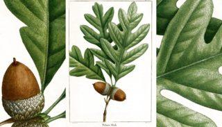 Le chêne blanc