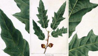 Le chêne de Bartram